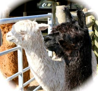 Delilah and Nora - 2 of our Alpacas
